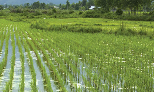 view across a rice field