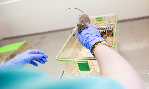 rat playing in lab