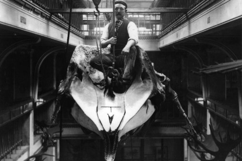 The taxidermist Harry Brazenor sits atop a whale skeleton, 1898