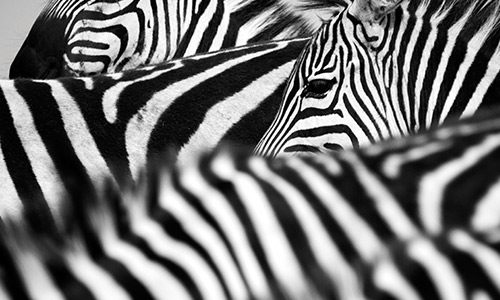 Image of zeal of zebras