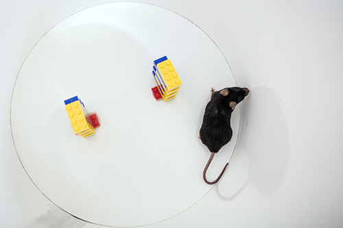 Rat and lego pieces