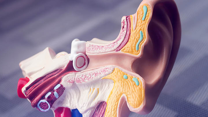 Anatomical model of an ear.